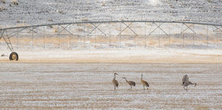 Sandhill cranes birds forage agriculture pasture Royalty Free Stock Images