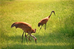 Sandhill Cranes with chick Stock Photo