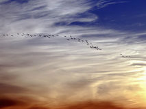 Sandhill Cranes Coming Home to Roost at Dusk Stock Photo