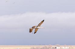 Sandhill Cranes coming in for a Landing Stock Photography