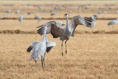 Sandhill Cranes Courting Stock Images