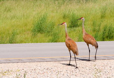 Sandhill Cranes Crossing Highway Stock Photography