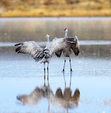 Sandhill Cranes Dancing Royalty Free Stock Images