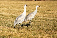 Sandhill Cranes - Dirty Beaks Royalty Free Stock Photo