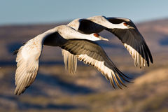 Sandhill Cranes durante il volo Fotografia Stock Libera da Diritti