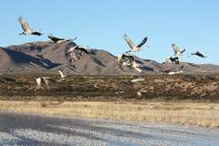 Sandhill cranes durante il volo Immagini Stock