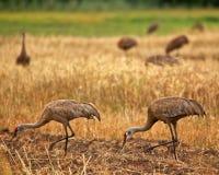 Sandhill Cranes Eating Stock Photography