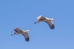 Sandhill cranes el cielo azul que vuela Fotos de archivo