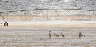 Sandhill cranes el pasto de la agricultura del forraje de los pájaros Imágenes de archivo libres de regalías