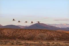 Sandhill Cranes el vuelo imagenes de archivo
