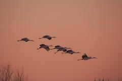 Sandhill Cranes el vuelo Fotografía de archivo