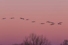 Sandhill Cranes el vuelo en la salida del sol Imagen de archivo libre de regalías