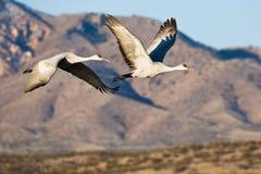 Sandhill Cranes en vuelo Fotos de archivo