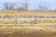 Sandhill Cranes on A Fallow Field Stock Photos