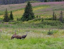 Sandhill cranes family in Alaska Royalty Free Stock Image