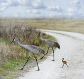 Sandhill Cranes Family Royalty Free Stock Images
