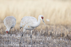 Sandhill cranes feeding in pond Stock Photography