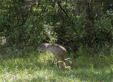 Sandhill Cranes Feeding with their young. Sandhill Cranes feed with their young babies Stock Images