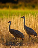Sandhill Cranes in Field Stock Photo