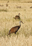 Sandhill Cranes in Field Stock Photography