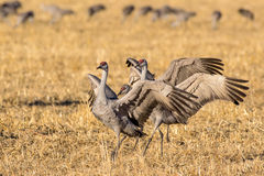Sandhill Cranes in a Field Stock Photo