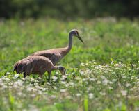 SANDHILL CRANES IN FIELD OF WILDFLOWERS stock photography
