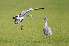 Sandhill cranes fighting Royalty Free Stock Images