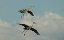 Sandhill Cranes in Flight Royalty Free Stock Images
