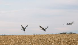 Sandhill Cranes in flight Royalty Free Stock Photos
