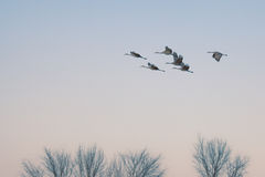Sandhill Cranes in flight Stock Image