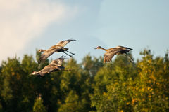 Sandhill Cranes in Flight Stock Images