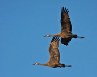 Sandhill Cranes in Flight Royalty Free Stock Image