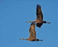 Sandhill Cranes in Flight Royalty Free Stock Image