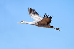 Sandhill Cranes In Flight Royalty Free Stock Photography