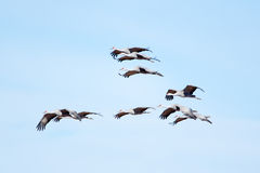 Sandhill Cranes in Flight with Blue Sky Background Royalty Free Stock Photo
