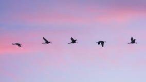 Sandhill Cranes in flight at dusk Royalty Free Stock Photos