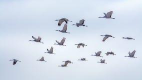 Sandhill Cranes in flight Royalty Free Stock Photography