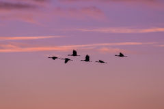 Sandhill Cranes in Flight at Sunrise Royalty Free Stock Photography