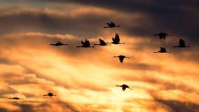 Sandhill cranes in flight at sunset Royalty Free Stock Image