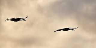 Sandhill Cranes in Flight Royalty Free Stock Photo