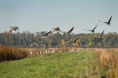 Sandhill cranes in fllight. Stock Photo