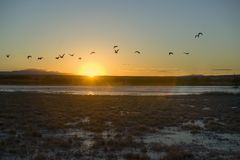 Sandhill cranes fly over the Bosque del Apache National Wildlife Refuge at sunrise, near San Antonio and Socorro, New Mexico Royalty Free Stock Photo