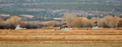 Sandhill cranes flying across field Stock Image