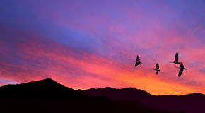 Sandhill Cranes flying across pink cloudy sky Stock Photography