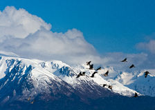 Sandhill Cranes flying against snow capped mountains Royalty Free Stock Image