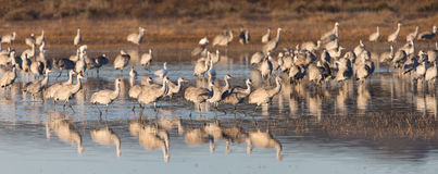 Sandhill cranes flying at Bosque del Apache National Wildlife Refuge in San Antonio New Mexico Stock Photos