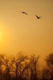 Sandhill Cranes. Flying over the Platte River stock photos