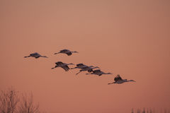 Sandhill Cranes Flying Stock Photography