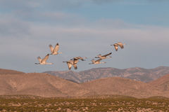Sandhill Cranes Flying Royalty Free Stock Photography