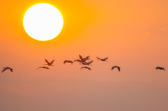 Sandhill Cranes. Flying at sunrise stock photography